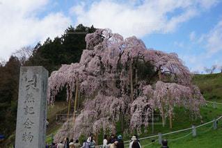 三春の滝桜の写真・画像素材[1069362]