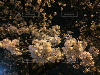 夜桜の写真・画像素材[1085845]