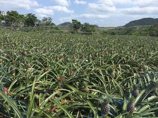 パイナップル畑の写真・画像素材[1069758]