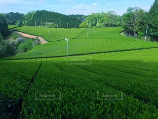 早朝の茶畑の写真・画像素材[2177494]