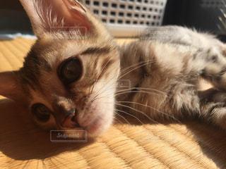 畳でくつろぐ猫の写真・画像素材[1070428]