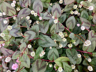 小さい白い花の写真・画像素材[1187088]