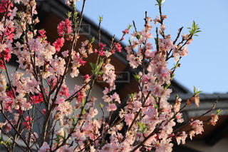 桃の花の写真・画像素材[1075458]