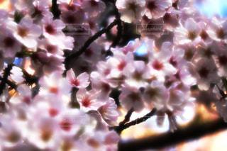 桜の写真・画像素材[1075460]