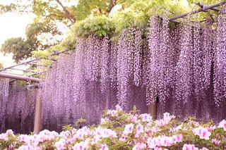 藤の花カーテンの写真・画像素材[1070982]