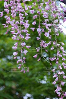 紫の藤の花の写真・画像素材[1070984]