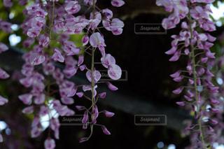 藤の花の写真・画像素材[1070986]