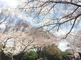 駒沢公園 桜 2018の写真・画像素材[1079648]