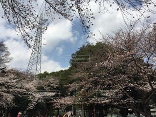 駒沢公園の桜 1の写真・画像素材[1079649]