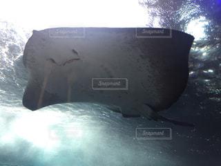 江ノ島水族館のエイの写真・画像素材[1139248]
