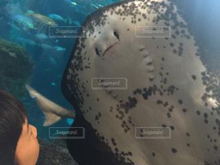 江ノ島水族館のエイの写真・画像素材[1139249]