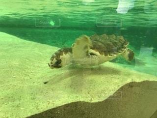水の下で泳ぐウミガメの子供の写真・画像素材[1071615]