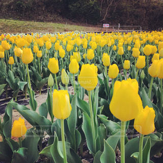 黄色いチューリップの写真・画像素材[1116848]