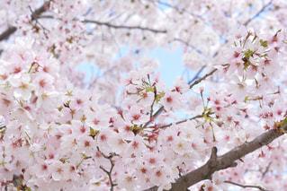 満開の桜🌸の写真・画像素材[1074052]