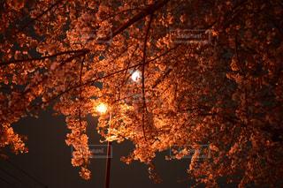 桜と月の写真・画像素材[1100766]