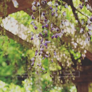 公園の藤の写真・画像素材[1175879]
