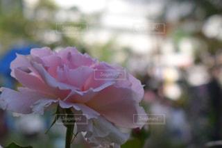 花フェスタ記念公園のカーネーションの写真・画像素材[1175882]