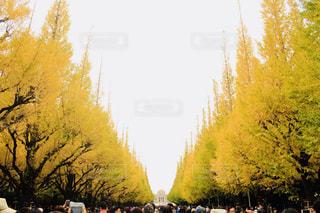 森の大きな木の写真・画像素材[1627320]