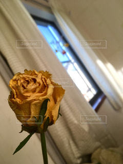 黄色いバラ ドライフラワーの写真・画像素材[1072870]