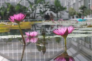 蓮の花の写真・画像素材[1073054]