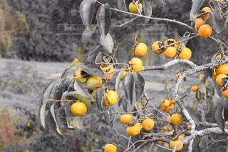 みかんの木の写真・画像素材[1073347]