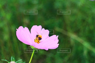 コスモスとミツバチ - No.1073968