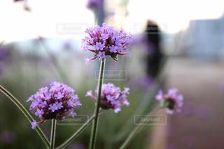 紫色の花の写真・画像素材[1074675]