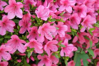 ピンクの花の写真・画像素材[1083751]
