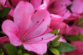 ピンクの花の写真・画像素材[1083752]