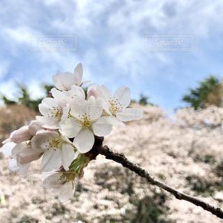 桜と青空の写真・画像素材[1081728]
