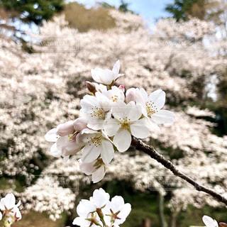 桜の写真・画像素材[1081729]