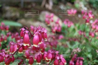 ピンクの花の写真・画像素材[1073923]