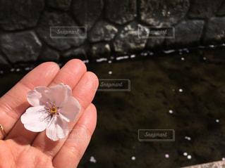 花びら流れるの写真・画像素材[1095741]