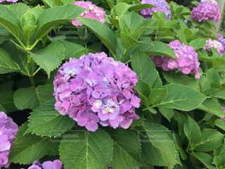 紫陽花の写真・画像素材[1223988]