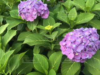 紫陽花の写真・画像素材[1223989]