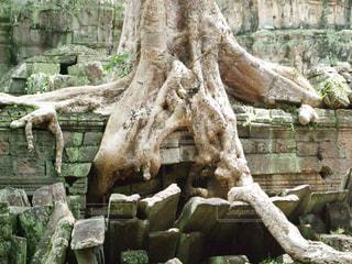 トゥームレイダーの樹木の写真・画像素材[1081758]