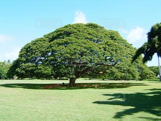 ハワイの日立の樹の写真・画像素材[1081765]