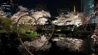 毛利庭園の夜桜の写真・画像素材[1086432]