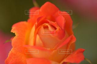 オレンジのバラの写真・画像素材[1073840]