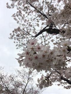 曇り空に桜の写真・画像素材[1074025]