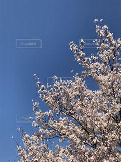 お花見日和  ②の写真・画像素材[2027526]