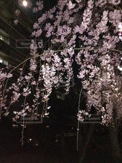 夜の枝垂れサクラの写真・画像素材[1095213]