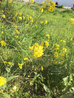 菜の花の写真・画像素材[1095237]