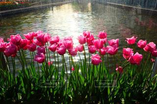 水の上のピンクの花の写真・画像素材[1074730]