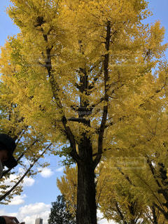 森の大きな木の写真・画像素材[1075214]