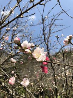 桜満開🌸の写真・画像素材[1081945]