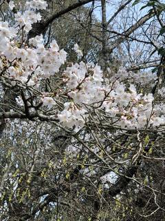 桜🌸の写真・画像素材[1081948]