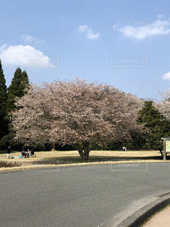 桜並木の写真・画像素材[1081949]