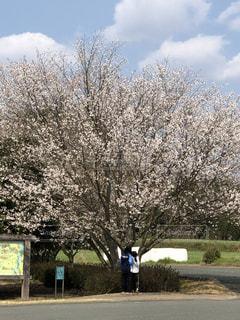 公園の桜🌸の写真・画像素材[1081951]