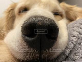 カメラを見ている犬のクローズアップの写真・画像素材[3309647]